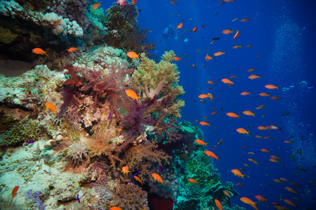 gorgonian: Tropical Anthias fish with net fire corals on Red Sea reef underwater