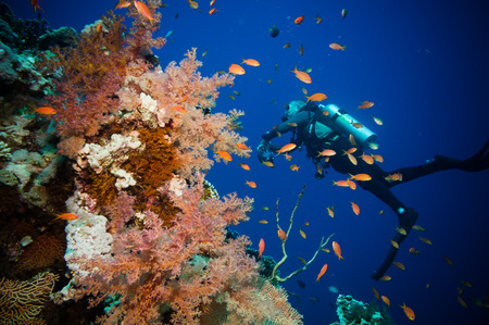 gorgonian sea fan: Scuba Diver, Tropical Fish and Coral Reef on Red Sea