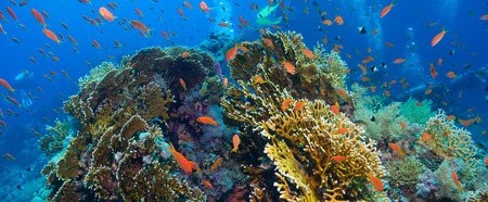 polyps: Tropical Anthias fish with net fire corals on Red Sea reef underwater