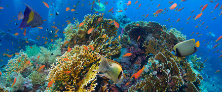 fish net: Tropical Anthias fish with net fire corals on Red Sea reef underwater