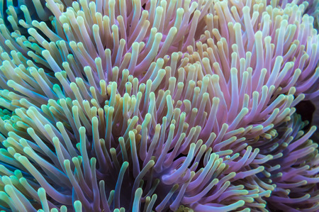 gorgonian: Clownfish shelters in its host anemone on a tropical coral reef