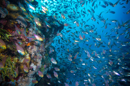 clear waters: a bunch of glass-fish, met in the clear waters of Sharm el Sheikh Red Sea