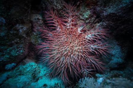 echinoderm: Poisonous crown of thorns sea star (Acanthaster plancii, echinoderm), Egypt.