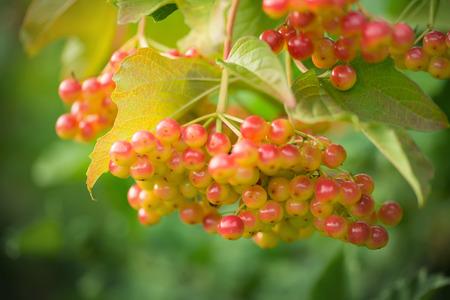 ripen: Mountain ash. Rowan-tree. The fruits of mountain ash. Rowan berries ripen on the tree.