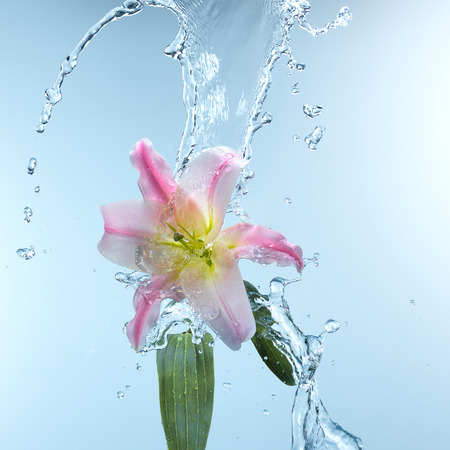 day lily: Pink day lily in cool splashing water spraying water droplets in an arc through the air on a fresh blue background Stock Photo