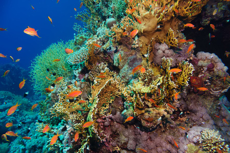 anthias fish: Tropical Anthias fish with corals on Red Sea reef underwater Stock Photo