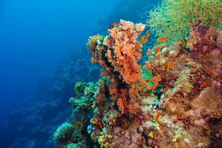 anthias fish: Colorful underwater offshore rocky reef with coral and sponges and small tropical fish swimming by in a blue ocean Stock Photo