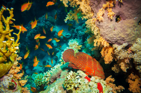 anthias: Blue-spotted tropical Anthias fish with net corals on Red Sea reef underwater Stock Photo