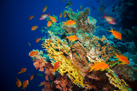 Tropical Anthias fish with net fire corals on Red Sea reef underwater photo