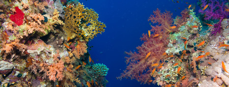 gorgonian sea fan: Colorful underwater offshore rocky reef with coral and sponges and small tropical fish swimming by in a blue ocean Stock Photo