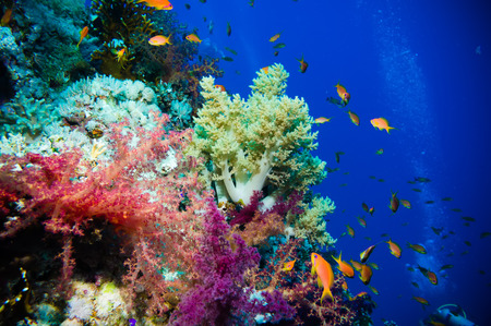 gorgonian sea fan: Tropical Anthias fish with net fire corals on Red Sea reef underwater