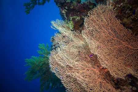 gorgonian sea fan: Giant fan (gorgonian) in the currenton Red Sea reef underwater