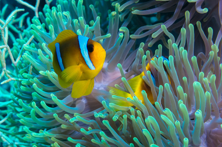 polyps: Clownfish shelters in its host anemone on a tropical coral reef