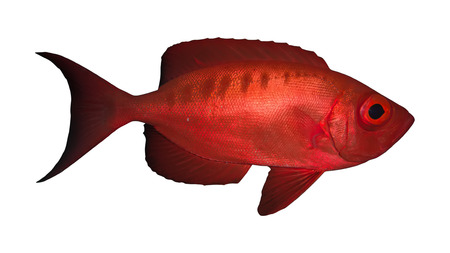 wrasse: Crescend-tail bigeye. Isolated on the white background