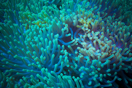 sea anemone: Clownfish shelters in its host anemone on a tropical coral reef