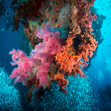 soft coral: Vibrant pink soft coral (Dendronephthya hemprichi), buzzing with tropical Lyretail anthias (Pseudanthias squamipinnis). Straits of Tiran, Red Sea, Egypt.
