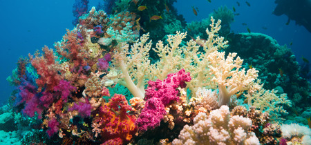 Colorful underwater offshore rocky reef with coral and sponges and small tropical fish swimming by in a blue ocean Stock Photo