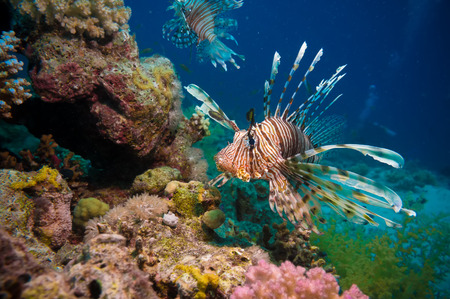 gorgonian sea fan: Lionfish among colorful small fishes at the coral reef underwater