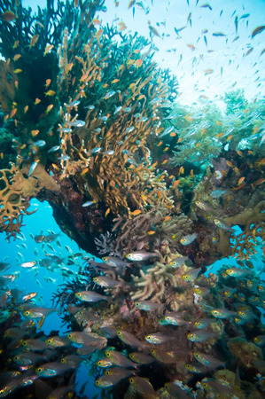 shoal: Shoal of Glassfish (Golden Sweepers) in clear blue water of the Red Sea,Egypt Stock Photo