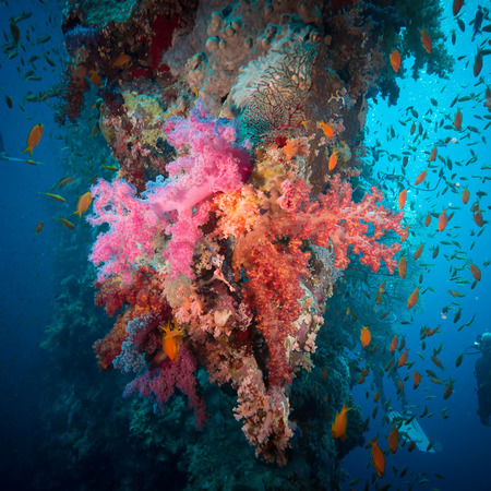 lyretail: Vibrant pink soft coral (Dendronephthya hemprichi), buzzing with tropical Lyretail anthias (Pseudanthias squamipinnis). Straits of Tiran, Red Sea, Egypt.