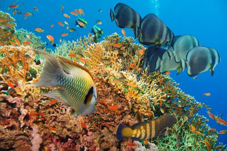 Colorful underwater offshore rocky reef with coral and sponges and small tropical fish swimming by in a blue ocean photo