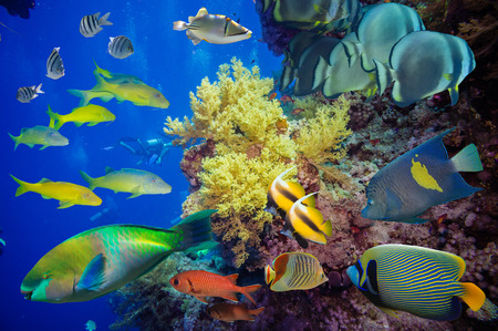 arrecife: Pescados tropicales y fil�n coralino en el Mar Rojo Foto de archivo