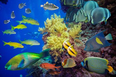 Tropische Fische und Korallenriff am Roten Meer Standard-Bild
