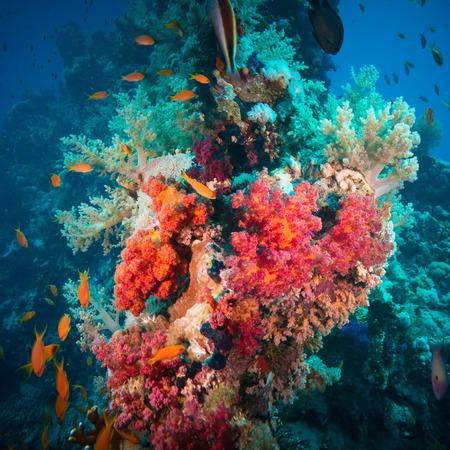 anthias: Vibrant pink soft coral (Dendronephthya hemprichi), buzzing with tropical Lyretail anthias (Pseudanthias squamipinnis). Straits of Tiran, Red Sea, Egypt.