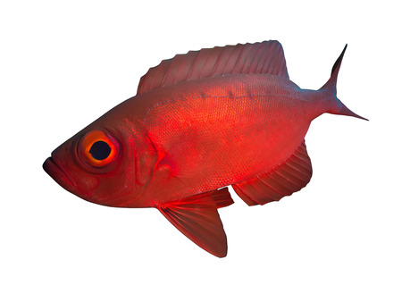 napoleon wrasse: Crescend-tail bigeye. Isolated on the white background