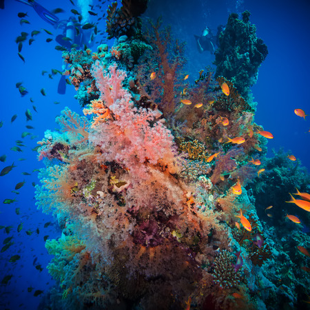 anthias: Tropical Anthias fish with net fire corals on Red Sea reef underwater
