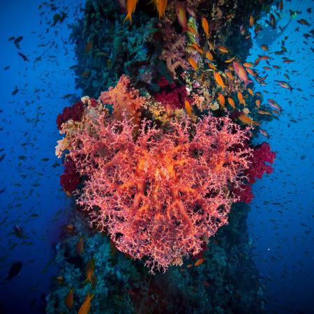 Valentine heart made of corals (Dendronephthya hemprichi) on blue water background photo