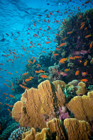 anthias fish: Tropical Anthias fish with net fire corals on Red Sea reef underwater
