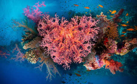 made of water: Valentine heart made of corals (Dendronephthya hemprichi) on blue water background Stock Photo
