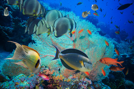 fish fire: Colorful underwater offshore rocky reef with coral and sponges and small tropical fish swimming by in a blue ocean Stock Photo