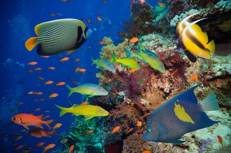 corales marinos: Pescados tropicales y filón coralino en el Mar Rojo Foto de archivo