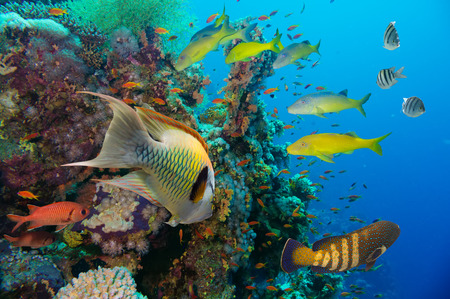 polyps: Colorful underwater offshore rocky reef with coral and sponges and small tropical fish swimming by in a blue ocean Stock Photo