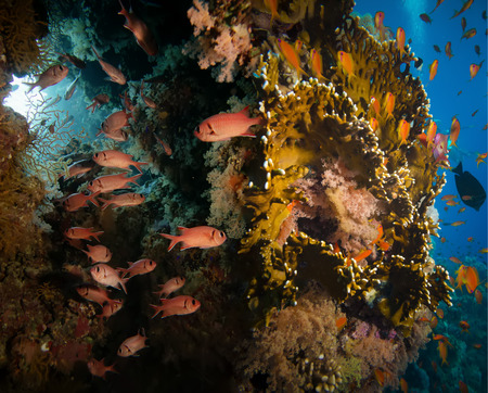 anthias: Tropical Anthias fish with net fire corals and shark on Red Sea reef underwater Stock Photo