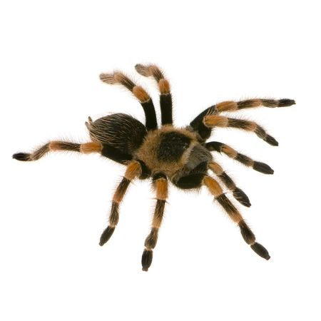 Mexican redknee tarantula in front of a white backgroung Stock Photo - 826378