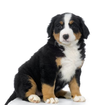 Puppy Bernese mountain dog in front of white background Stock Photo - 835189