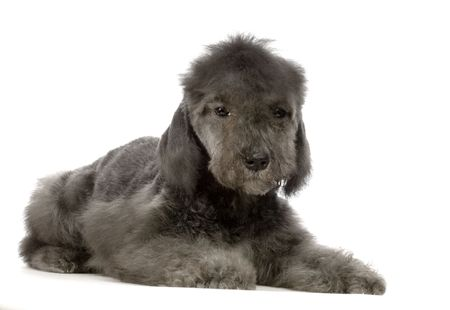 Bedlington Terrier in front of white background Stock Photo - 832744