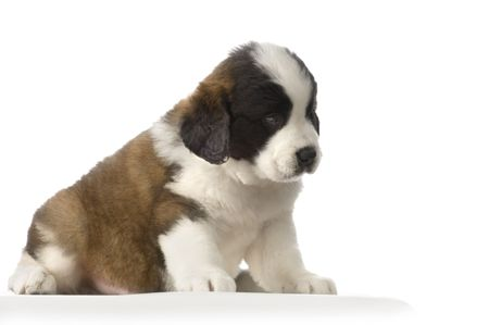 puupy Saint Bernard in front of white background Stock Photo - 832741