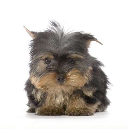 Yorkshire Terrier in front of a white background photo