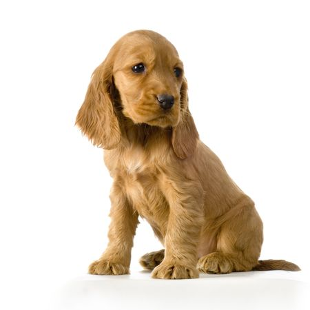 English Cocker Spaniel puppy in front of a white background Stock Photo - 832728