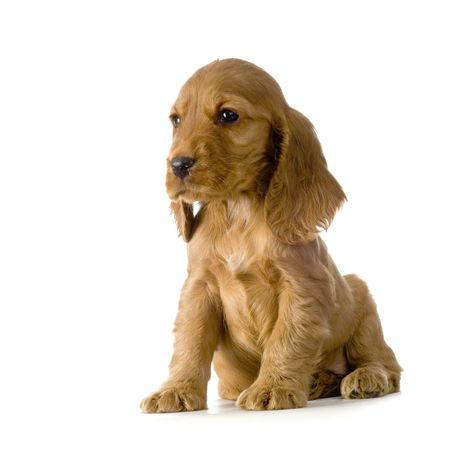 English Cocker Spaniel puppy in front of a white background Stock Photo - 832727