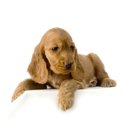 English Cocker Spaniel puppy in front of a white background Stock Photo - 832725