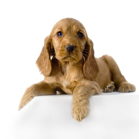 English Cocker Spaniel puppy in front of a white background Stock Photo - 832726