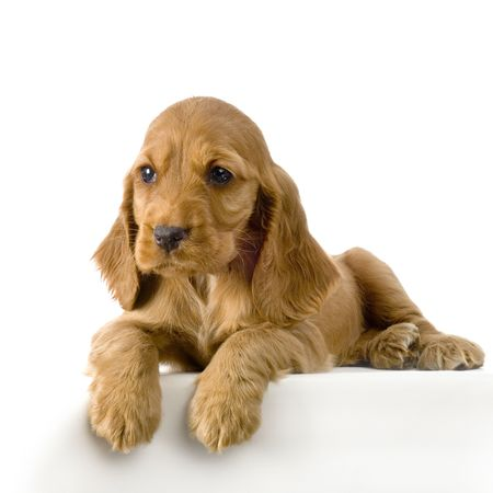 English Cocker Spaniel puppy in front of a white background Stock Photo - 832694