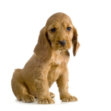 English Cocker Spaniel puppy in front of a white background photo