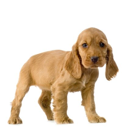 English Cocker Spaniel puppy in front of a white background Stock Photo - 832692
