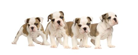 English bulldog puppies in front of a white background